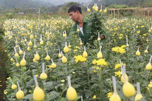 Tin NN Tây Bắc: Xuân sớm trên những cánh đồng ở Lào Cai