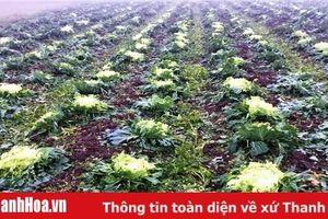 Hơn 36 ha cây trồng bị thiệt hại do mưa, dông dịp Tết Nguyên Đán