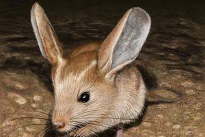 Khám phá 'choáng' loài chuột biết dùng máu trong tai để hạ nhiệt