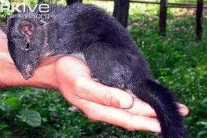 Loài chuột tưởng đã tuyệt chủng lại có mặt ở Việt Nam