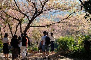 Mùa xuân đi ngắm hoa anh đào ở Chiang Mai - Thái Lan
