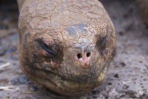 Tìm thấy hậu duệ của rùa khổng lồ 'George cô đơn' đã tuyệt chủng