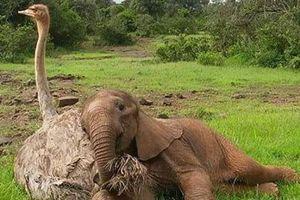 Tình bạn kỳ lạ giữa đà điểu và voi con