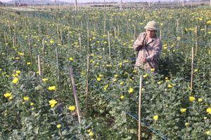 'Vựa' hoa cúc Mê Linh lo bị ảnh hưởng bởi dịch nCoV