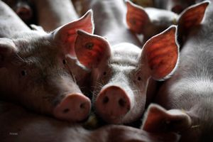 Indonesia: Xuất hiện dịch bệnh lạ khiến lợn chết hàng loạt tại Bali
