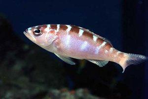 'Cực choáng' về loài cá thay đổi giới tính 20 lần/ngày