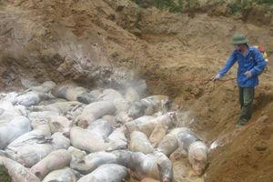 Dịch tả lợn châu Phi tái phát: Chuyên gia Mỹ đến VN nghiên cứu vaccine