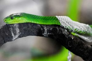 1001 thắc mắc: Vì sao rắn lại lột xác?
