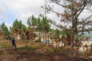 Rừng thông trên tuyến Đà Lạt-Nha Trang bị chặt phá làm nương rẫy