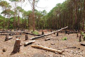 Lâm Đồng: Kiểm tra việc rừng thông bị chặt phá