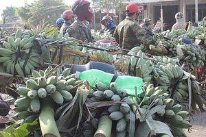 Tránh ảnh hưởng Covid-19: Quảng Trị chuyển hướng xuất khẩu chuối sang Thái Lan