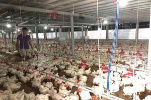 Đông Nam Bộ: Giá gà công nghiệp giảm mạnh