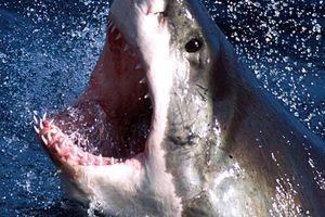 Giật mình khi đi bơi, thợ lặn vô tình đối mặt với cá mập trắng lớn