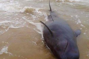 Cá Ông Chuông 500 kg bị thương dạt vào bờ biển Quảng Ngãi