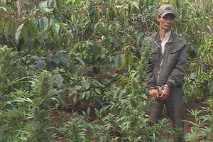 'Lão nông' trồng hơn 1.000 cây cần sa trong rẫy cà phê