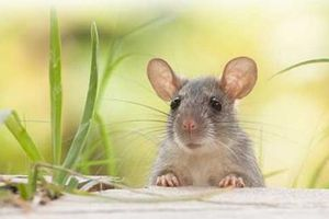 Những điều thú vị về thế giới loài Chuột