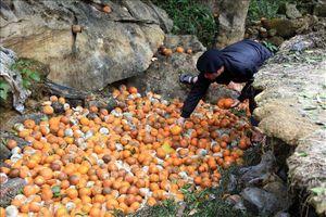 Cam rụng hàng loạt gây thiệt hại lớn cho người trồng