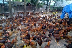 Bắc Giang: Chuẩn bị kỹ công tác chống dịch cho gia súc, gia cầm