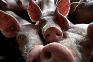 Dịch tả lợn châu Phi hoành hành tại Hàn Quốc