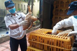 Bắt vụ vận chuyển hàng trăm con gà thịt không rõ nguồn gốc