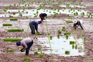 Kim Sơn: Dồn sức xuống đồng gieo cấy lúa đông xuân