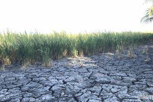 Chùm ảnh: Ruộng nứt toác, đường sụp lún vì hạn mặn kỷ lục ở ĐBSCL