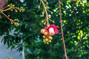 Những cây sala ở Nha Trang