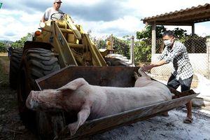 Lâm Đồng từng bước tái đàn sau dịch tả lợn châu Phi