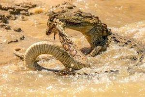 Rắn kịch độc khổng lồ bỏ mạng trong hàm cá sấu