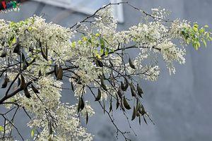 Ngắm hoa sưa nở trắng tinh khôi trên đường phố Hà Nội