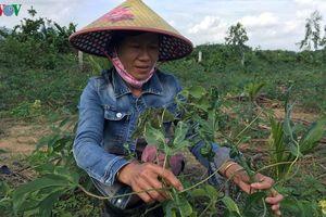 Xuống giống 'vội' vùng sắn nhiễm bệnh, nông dân nguy cơ thiệt hại nặng