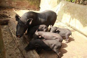 Nhật Bản chung tay bảo tồn nguồn gen các giống lợn bản địa Việt Nam