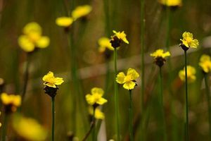 Vẻ đẹp hoang sơ của hoa hoàng đầu ấn ở Tràm Chim