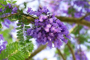 Chuyện về những cây phượng tím 'di sản' ở Đà Lạt