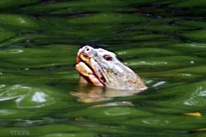 Tăng cường bảo vệ các cá thể rùa Hoàn Kiếm và cua đinh