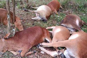 Sét đánh chết 7 con bò trong cơn mưa dông