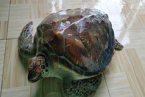 Thả con vích nặng 14,5 kg mắc lưới ngư dân