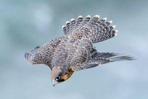 Loài chim sở hữu tốc độ 390 km/h, nhanh nhất hành tinh