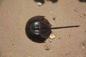 Cận cảnh loài so biển độc ngang cá nóc, nhiều người ăn nhầm
