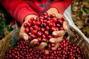 Giá cà phê hôm nay 5/3: Thị trường Tây Nguyên giảm 500 đồng/kg