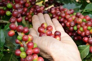 Giá cà phê tiếp tục lao dốc, giảm mức kỷ lục