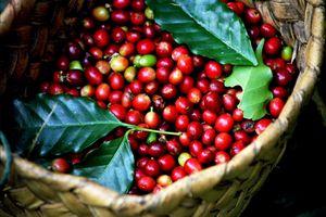 Giá cà phê hôm nay 7/3: Thị Trường giảm mạnh lên tới 600 đồng/kg