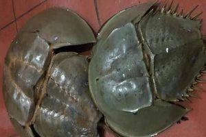 Nhận biết sam biển và so biển để tránh ngộ độc thực phẩm