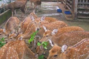 Phát triển chăn nuôi hươu trong nông hộ