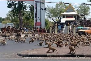 Thái Lan vắng khách du lịch mùa dịch, hàng trăm con khỉ hỗn chiến vì một quả chuối