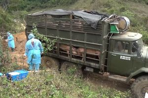 Phát hiện, tiêu hủy số lượng lớn lợn vận chuyển trái phép từ Lào về