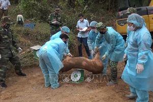 Lợi dụng đường mòn, lối mở để nhập lậu lợn từ Lào về Việt Nam