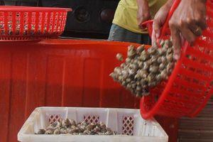 Vào vụ nuôi ốc hương: Nông dân còn phân vân