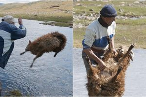 'Cười rơi nước mắt' với cách tắm cừu độc đáo và nhanh chóng của người dân du mục