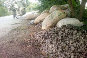 Nam Định: Gần 9.000 ha lúa xuân bị nhiễm ốc bươu vàng